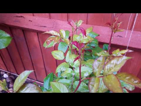 Garden Diaries our Roses How to get rid of green fly