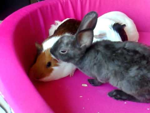 Rabbit - guinea pigs interaction: cleaning ears