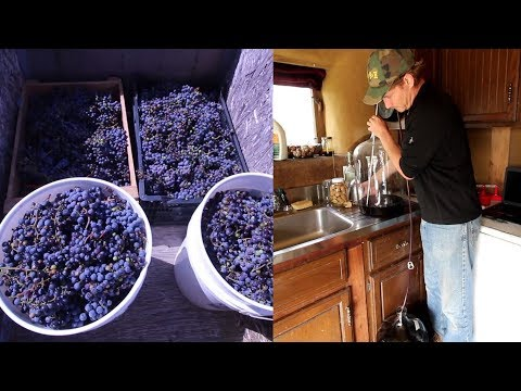 Making a Nouveau Wine from Homegrown Organic Grapes Part 1