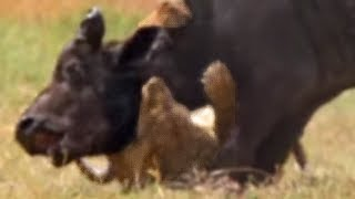 Wild lions swim in a hunt for Buffalo | Wild Africa | BBC