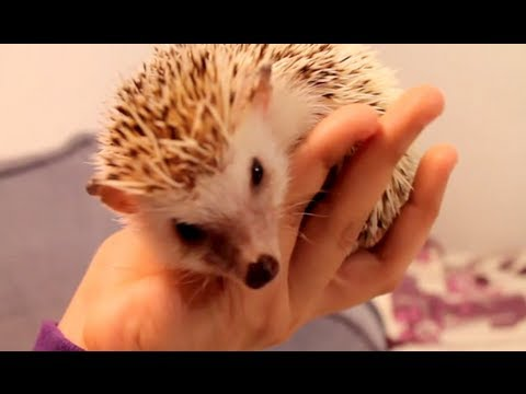 How To Tame a Hedgehog