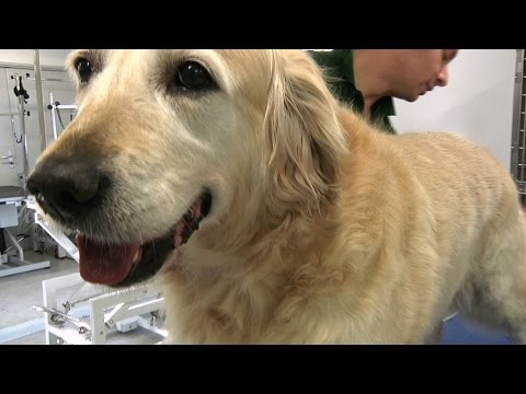 Pro Groomer - Golden Retriever Grooming Guide
