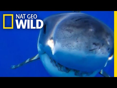 Great White Shark Bites Down on a Submarine Drone | Nat Geo Wild