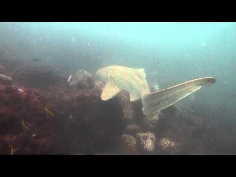 Leopard Shark - cook Island
