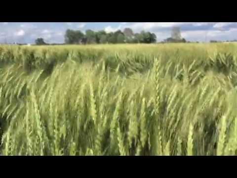 Grain, wind, life, growth