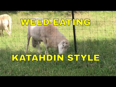 WEED-EATING ~ KATAHDIN STYLE
