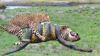Download OMG! Giant Python Hunt Leopard Cubs When Mother Leopard Hunting Impala, Anaconda vs Crocodile Video