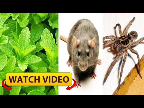 How to Get Rid of Mice, Spiders, Cockroaches and Other Insects forever in Your Home Naturally!