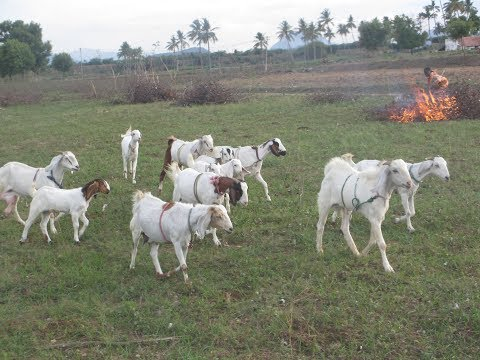 Jamunapari goat farmer experiance
