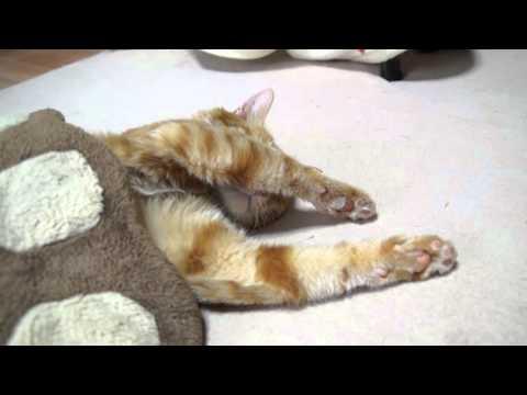 肉球クッショで眠る猫 Cat sleeps 2015#8