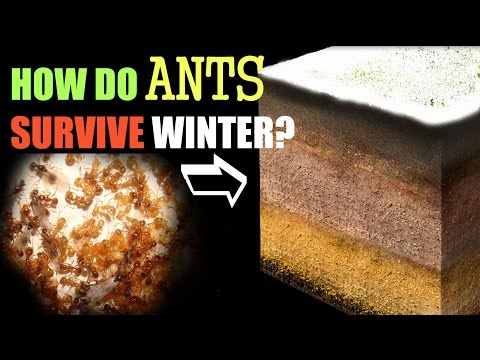 How Ants Survive the Winter