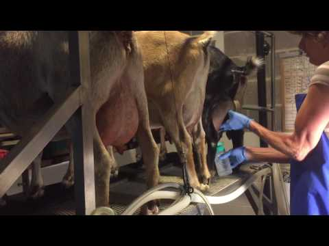 Pholia Farm-Milking 3: Cleaning the Udders