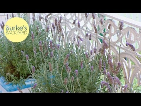 Burke's Backyard, Potted Lavender
