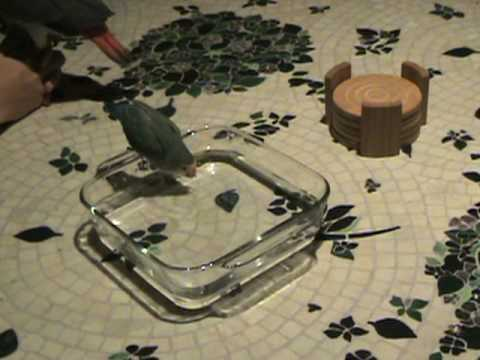 Lovebird Takes Bath, African Grey Observes