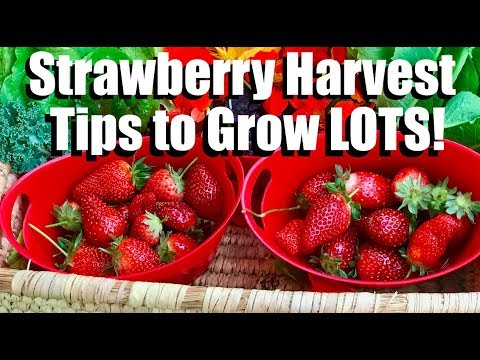 Strawberry Harvest and Tips to Grow LOTS of Strawberries!