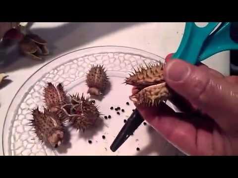 BJ's Blog - The Artist Corner - Trimming Moon Flower Pods