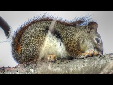 Baby Red Squirrel Sleeping