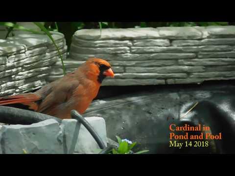 Cardinal in Pool