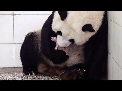 Birth Of Baby Panda | Panda Babies | BBC Earth