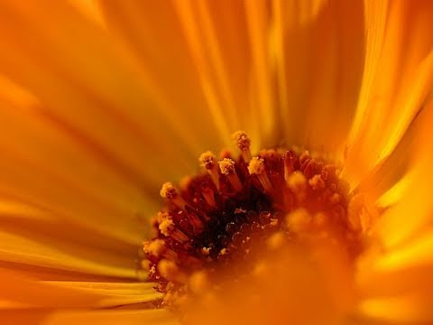 Calendula Healing Herb (Marigold) - Nature's Answer to Savlon and More!