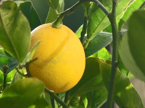 Solving Insect Problems on Citrus
