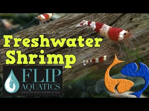 How To Breed/Care For Shrimp With Flip Aquatics!!! Tank Talk Live Presented by KGTropicals!!