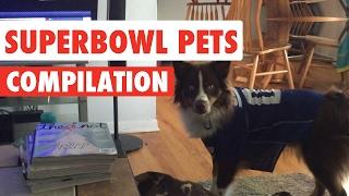 Funny Super Bowl Sunday Pets Video Compilation 2017