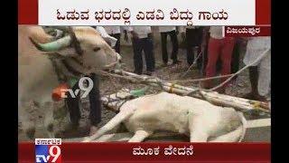 Bull Injured during Race Organized on the Occasion of Naga Panchami in Vijayapura