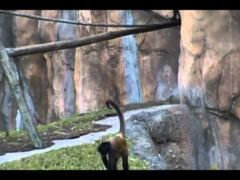 Mother Monkey pulls Baby Monkey's Tail at the Palm Beach Zoo