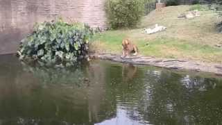 Mother Duck vs Lion at Auckland Zoo