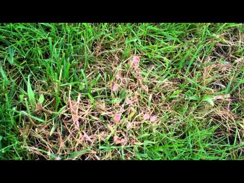 Lawns - RED THREAD or PINK PATCH?