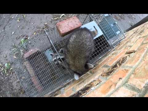 Baby Raccoon Won't Abandon Trapped Family