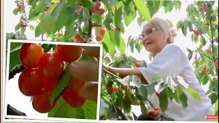 Vlog 678 ll 73 Tuổi, Bà 2 Lần Đầu Leo Lên Cây Hái Cherry Ở Mỹ