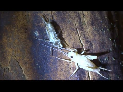 AwA Cricket moulting its exoskeleton