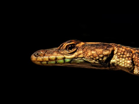 Waterberg Flat lizard