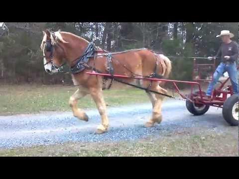 Work Horse Belgian Draft grading driveway using a Pioneer Forecart.