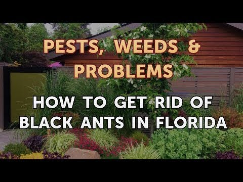 How to Get Rid of Black Ants in Florida