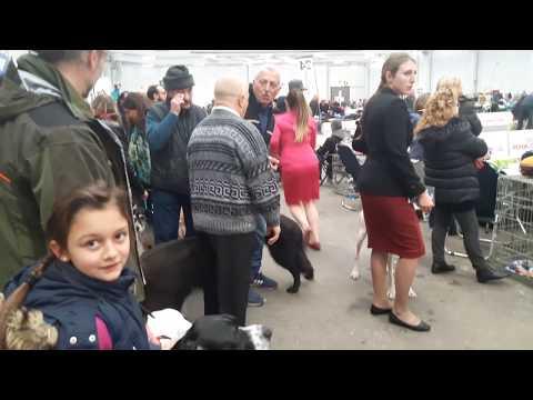 Part 4 - Dog Show Italy - Bhola Shola