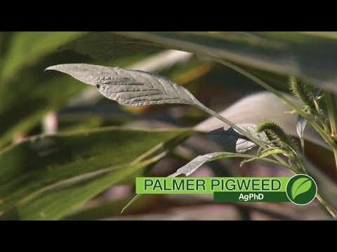 Weed of the Week #1047 Palmer Pigweed (Air Date 4-29-18)