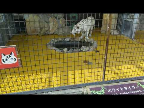 White Tiger vs White Lion