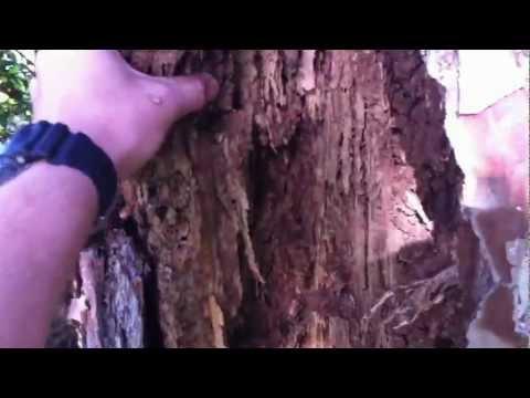 Termite Destruction of a Tree Stump in Clontarf Brisbane
