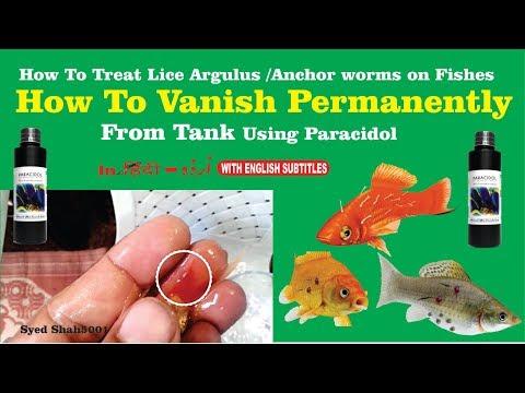 Treatment external fish parasites Fish lice, flukes, Anchor worm , HOW To Vanish permanently