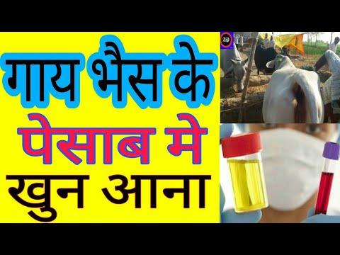 गाय-भैंस के पेशाब में खून का जबरदस्त देशी नुस्खा / Cow Buffalo Urine Problem useful  Desi Nuskha।