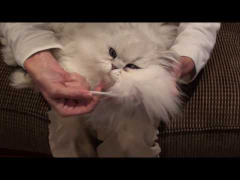 Cleaning Chinchilla Silver persian eyes