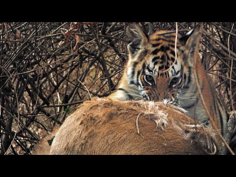 Mother Tiger Makes Speedy Kill to Feed Cubs