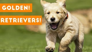 Funny And Cute Golden Retriever Puppies Compilation | Funny Pet Videos