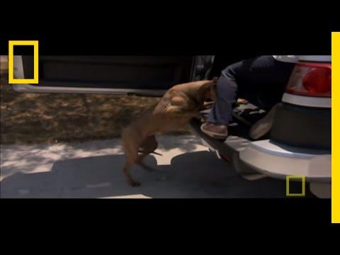 Get in the Car! | Dog Whisperer