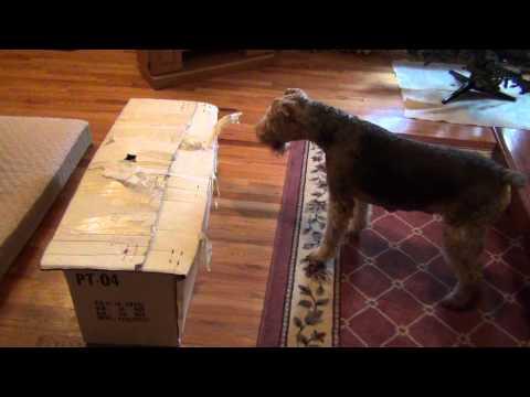 Brick barking at Bella in a box.