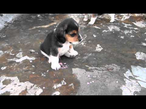 kataria's 30 days old beagle pupps......