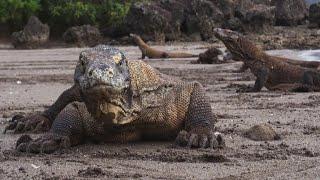 Nature: Komodo dragons